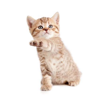Scottish or british gray kitten gives paw Stock Photo - 13402162