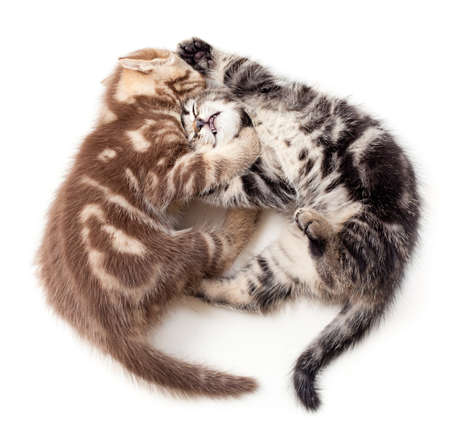 two kittens struggle top view photo
