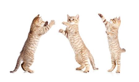 jumping british kitten set photo