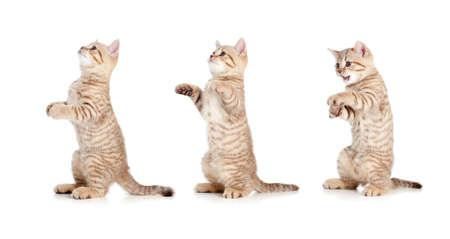 standing striped british kitten set isolated photo