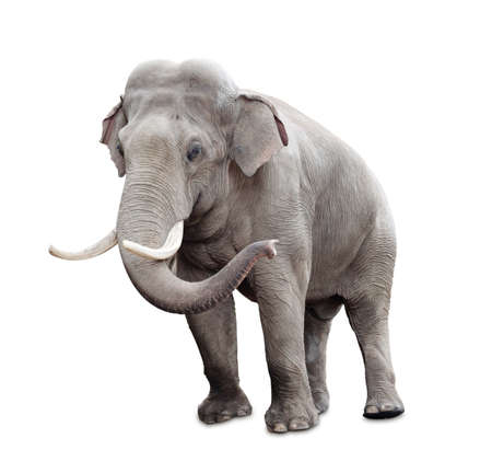 Elephant isolated on white with clipping path included photo