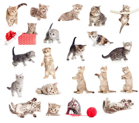british pussy: British baby cats collection isolated on white Stock Photo