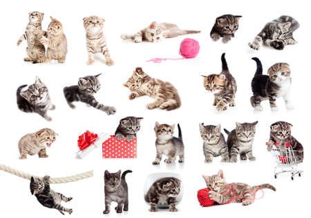 british pussy: Funny British kittens collection isolated on white Stock Photo