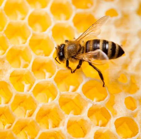 peine: disparo macro miel de abeja recoge en nido de abeja