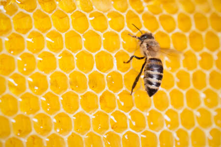 bee in honeycomb macro Stock Photo - 14804802
