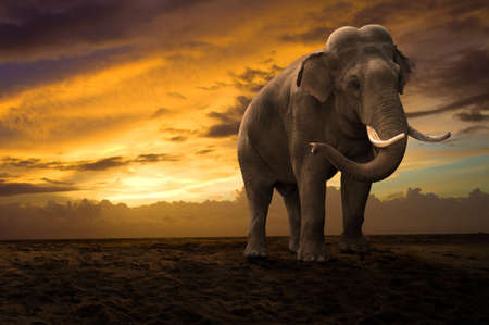 wild asia: elephant walking outdoor on sunset