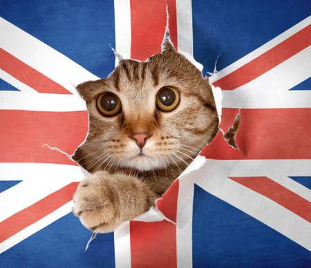 drapeau anglais: British cat regardant à travers le trou dans le papier Grande-Bretagne drapeau