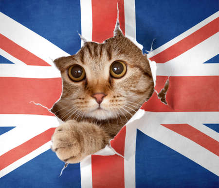 britain flag: Gato brit�nico mirando hacia arriba a trav�s del agujero en papel de Gran Breta�a bandera