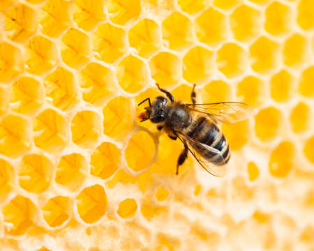 bee working in honeycomb macro shot photo