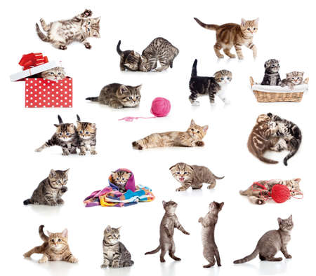 british pussy: Active kittens collection. Little funny cats isolated on white.