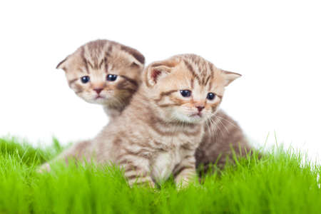 pathetic: two british kittens on grass