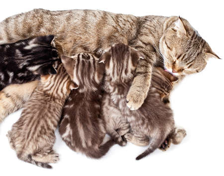 mother cat feeding baby kittens and licking them photo