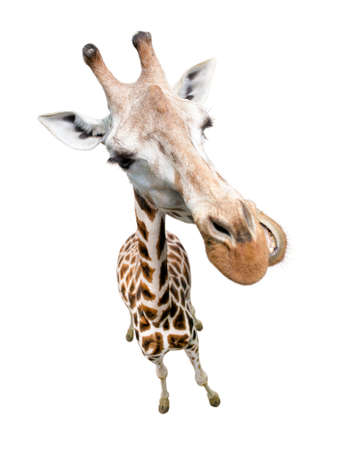 Giraffe closeup portrait isolated on white. Top view wide lens shot.