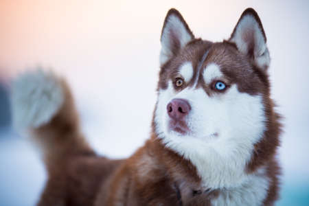 Siberian husky dog portrait photo