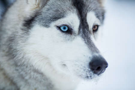 blue eye husky: Siberian husky dog closeup portrait