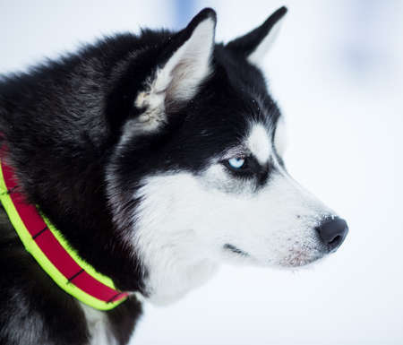 husky dog portrait Stock Photo - 17223092