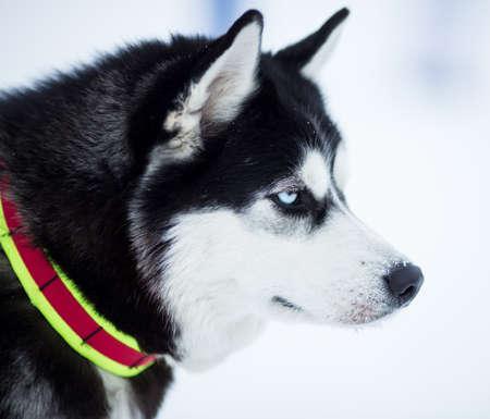 husky dog portrait Stock Photo - 17223092