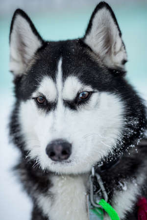 Siberian husky dog portrait Stock Photo - 17223104