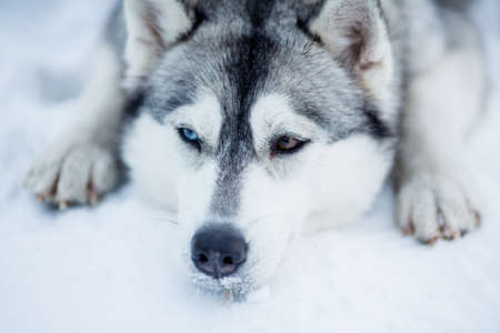 Tired Siberian husky sled dog closeup portrait photo