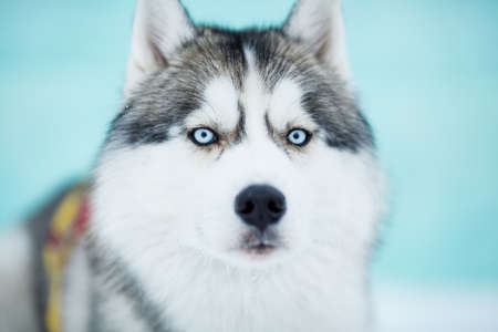Siberian husky sled dog closeup portrait Stock Photo - 17307549