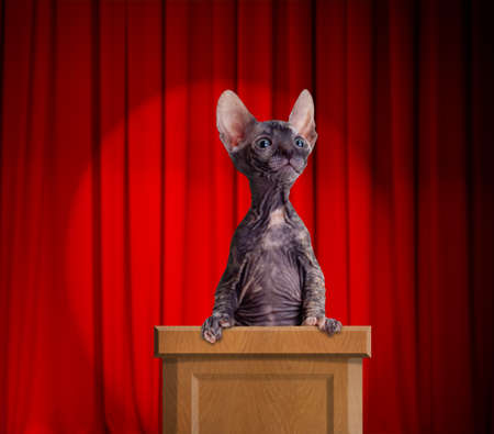 rostrum: Funny hairless cat standing on a rostrum for a speech with red curtains and light spot behind