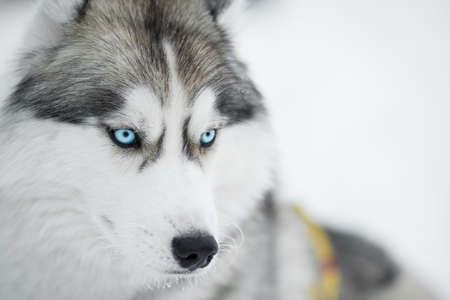 blue eye husky: Siberian husky sled dog closeup portrait
