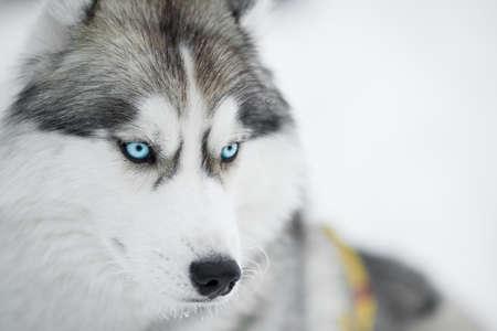 Siberian husky trineo closeup retrato Foto de archivo