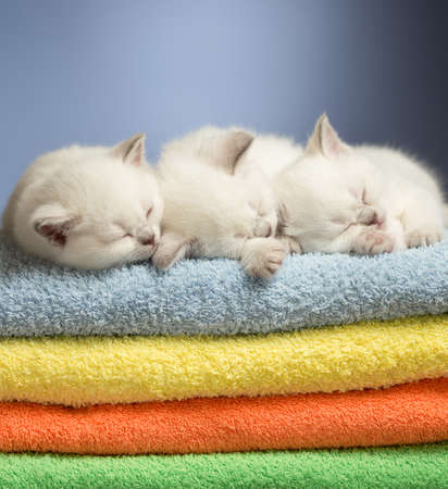 british pussy: Three sleeping british baby kittens on colorful towels