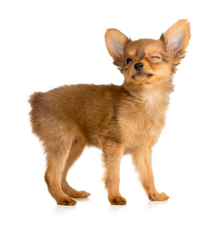 dog toy: winking Russian toy terrier puppy