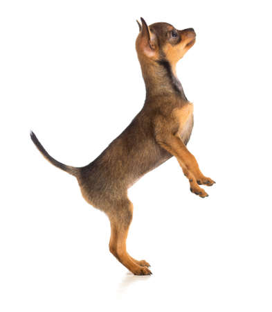 Standing dog side view. Russian toy terrier photo