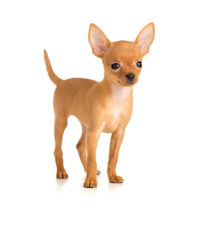 smiling dog Russian toy terrier Stock Photo - 17965976