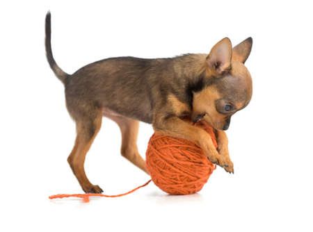 ball of wool: toy terrier playing wool ball