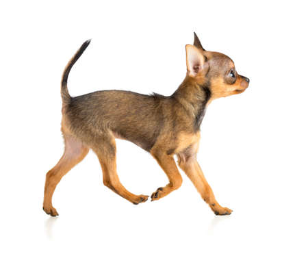 running toy terrier puppy profile photo
