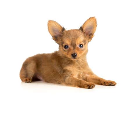 toy terrier: toy terrier cucciolo sdraiato