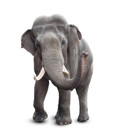 elephants: Elephant front view with clipping path included
