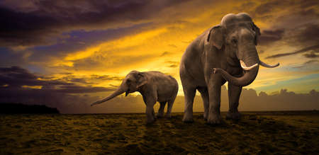 elephant�s: Familia de los elefantes en la puesta del sol