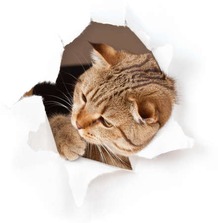 british pussy: cat in paper side torn hole isolated