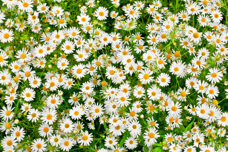 oxeye: camomile daisy meadow background Stock Photo