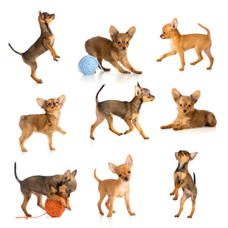 toy terrier collection isolated photo