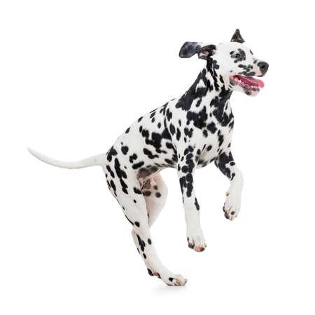 saut chien dalmatien isolé sur blanc