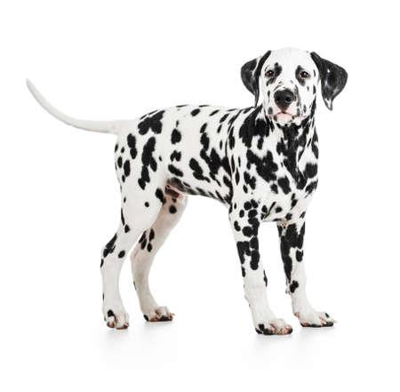 petshop: Standing Dalmatian dog isolated on white Stock Photo