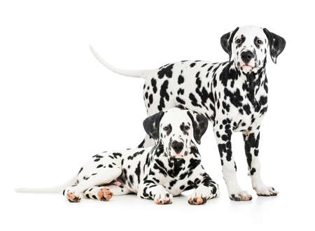 petshop: Two Dalmatian dogs together Stock Photo