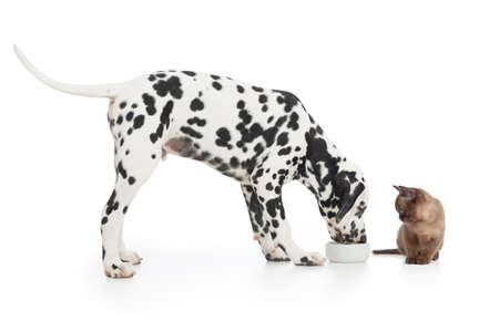 animal feed: Dalmatian dog eating from bowl and kitten sitting close on white Stock Photo