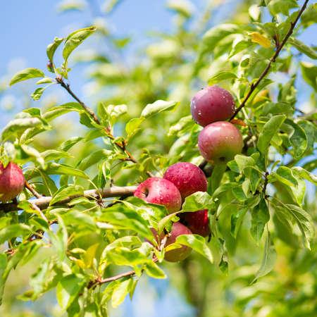 Apple tree brunch photo