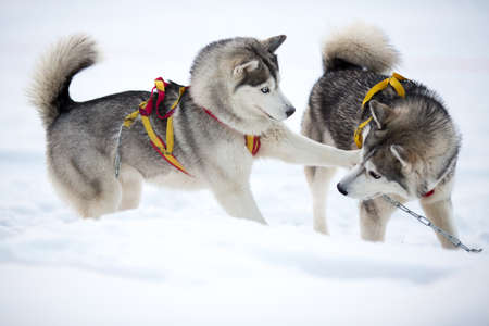 Two playing siberian husky dogs outdoor photo