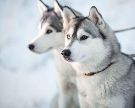 Two siberian husky dogs closeup portrait photo