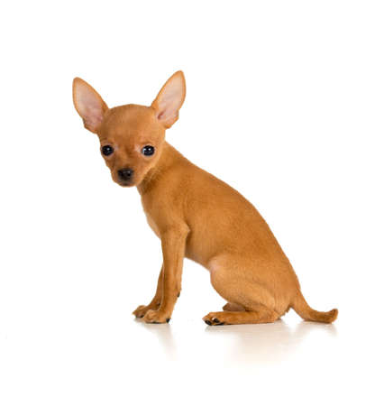 sitting dog Russian toy terrier photo