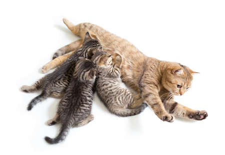 brood: kittens brood feeding by mother cat isolated