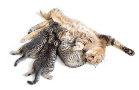 brood: kittens brood feeding by happy mother cat isolated on white Stock Photo