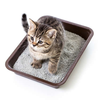 cat isolated: kitten or cat in toilet tray box with absorbent litter isolated